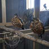 Fledgling robins need a place outside to safely learn to fly