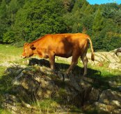 After we'd photographed the tree we turned to see this bullock standing precariously on an adjacent rock.