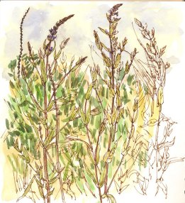 Purple loosestife - my last sketch of the day and it proved quite a challenge with all those interlocking stems and foliage, especially as it kept blowing about in the afternoon breeze.