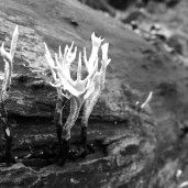 Stagshorn fungus growing on a log in the quarry.