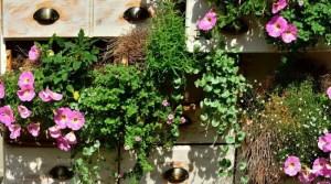 pinkfarbene Petunien in Holzschubladen gepflanzt