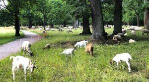 Schafe und Ziegen weiden beim Elly Heuss-Knapp-Denkmal im Eichenhain