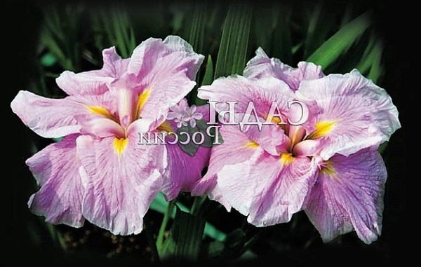Ирисы (33 фото): цветы ирисы сорта с фото и названиями