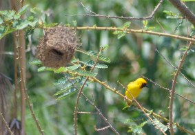 Picture taken at Lake Victoria, Kenya of Weaver bird next to its nest