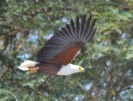 Picture of an African Sea Eagle in flight