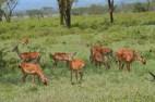 Herd of gazelle