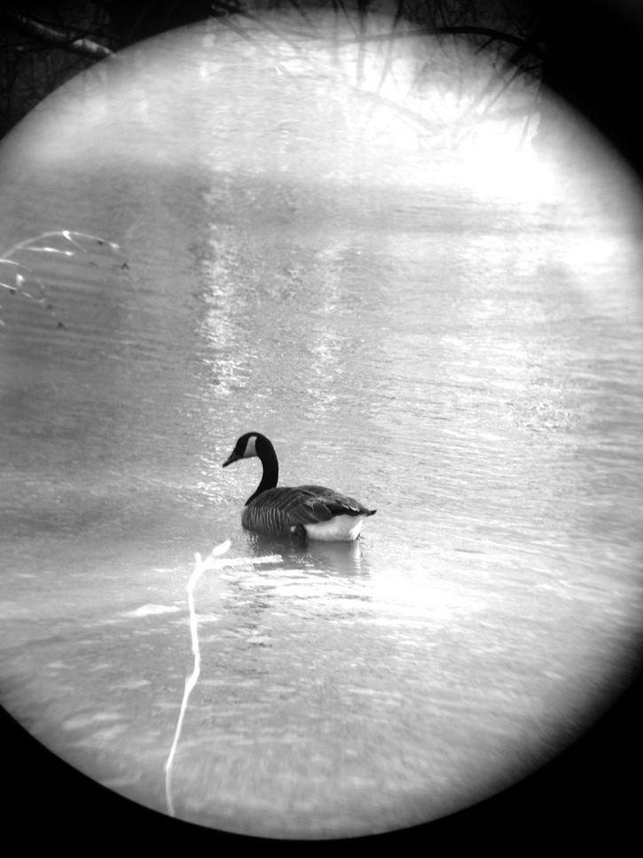 Canadian Geese Animal Will Eskridge