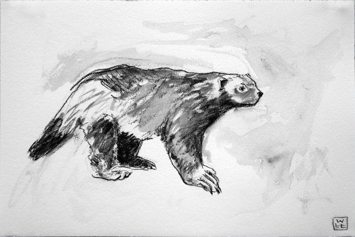 Wolverine Animal Artist Art Drawing Will Eskridge