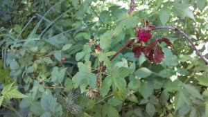 Red and black raspberries are just starting to come into season.