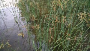 The hot days of late summer and early fall are the best time to harvest rushes.