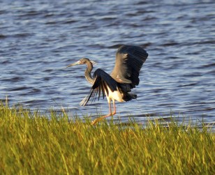 Tricolored Heron, Mashes Sand.
