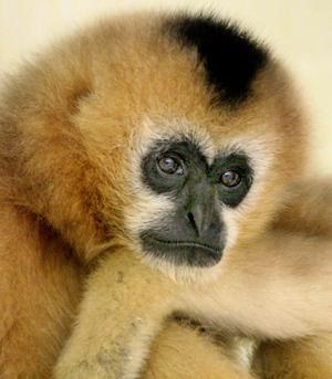 gutsy gibbon