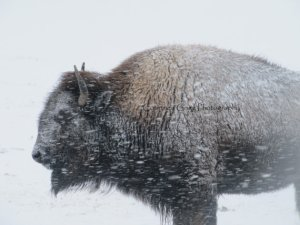 Bison - Courtesy of http://www.etsy.com/shop/courtneygrigg