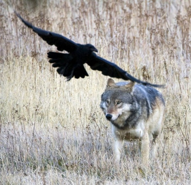 wolf and raven 3 (700 x 679)