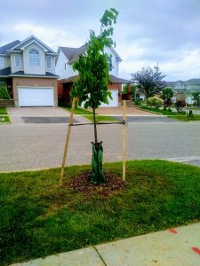 Planting trees in Kitchener