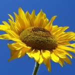 Sunflower on a beautiful morning