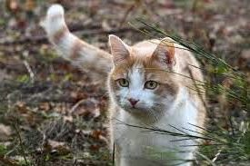 Orange cat out in nature staring with tail extended