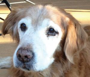 Tess golden retriever rescue