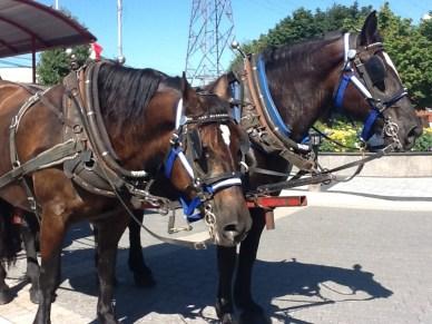 NS Halifax horses