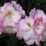Brigitte_Rhododendron_online.2