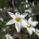 sisyrinchium alba