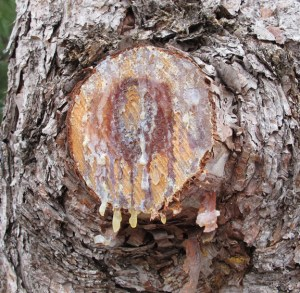 Pine Sap Leaking From Wound On Pine Tree