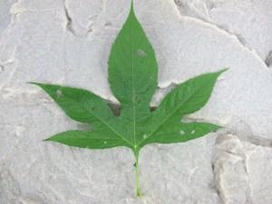 Giant Ragweed - Leaf