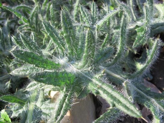 thistle-leaf