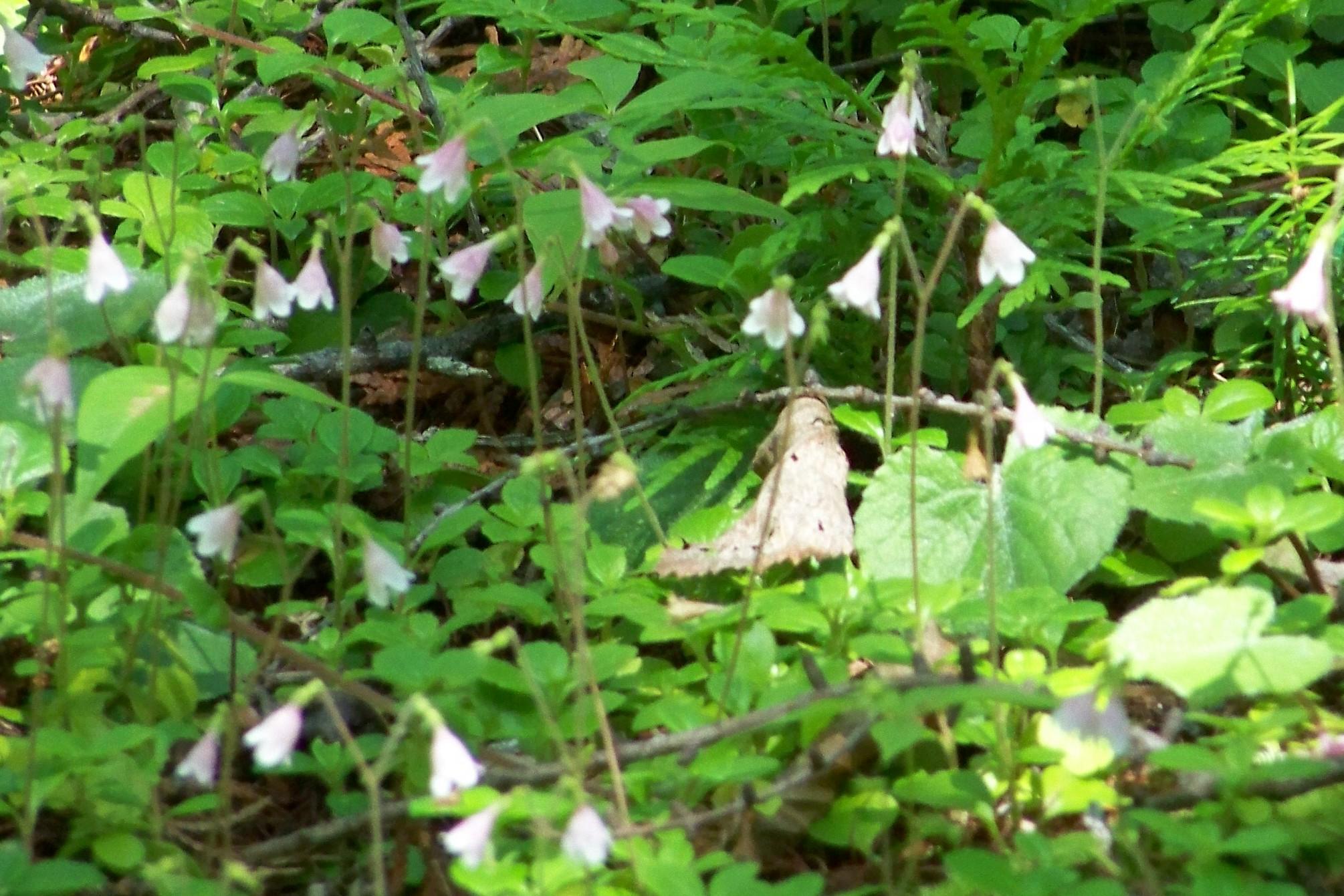 purdontwinflower
