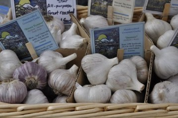 Seed garlic for sale