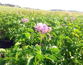 Potato Blossom!