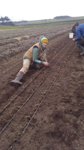 Planting out onions! Nice technique!