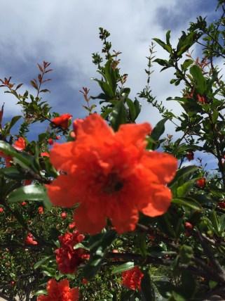 Blütenpracht in Old Town San Diego