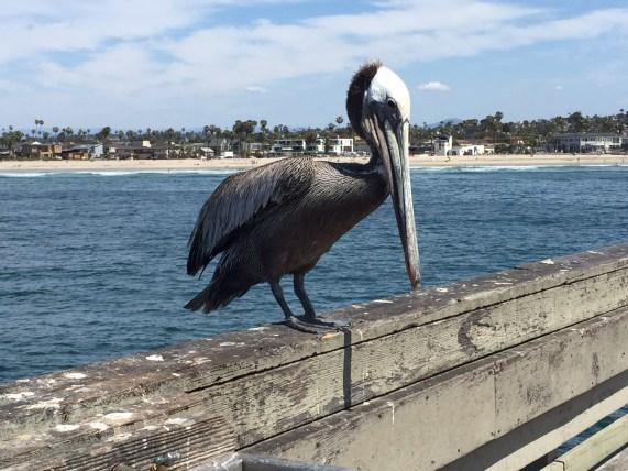 Pelikan auf dem Pier in Ocean Beach