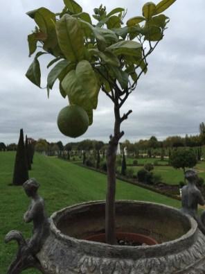 Yup, ein Zitronenbaum, mitten in London...