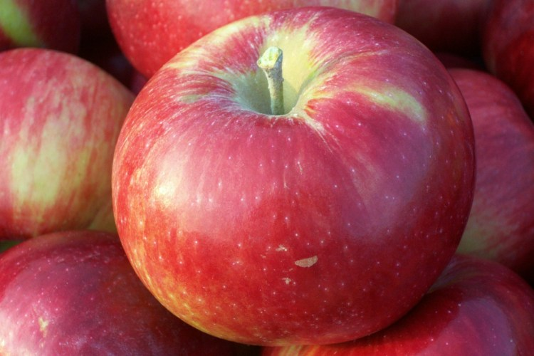 organic apple harvest wills family orchard des moines iowa