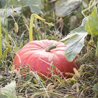 pumpkins_200