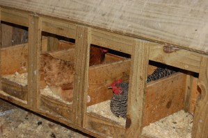 barnyard fall fun wills orchard chickens