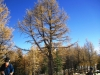 3407-old-larch-tree