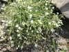 white-field-chickweed