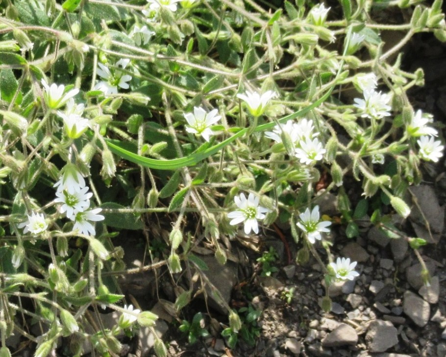 White-Chickweed