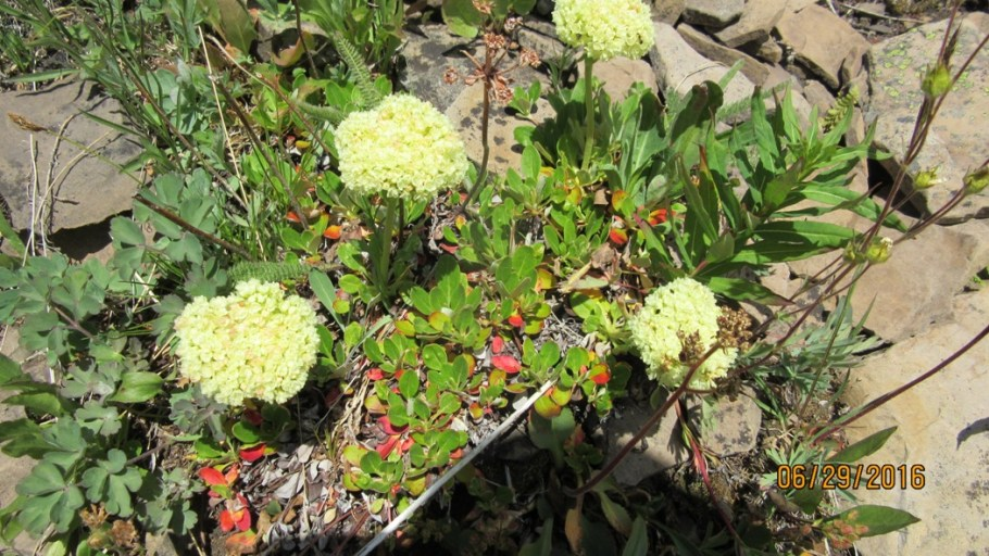 Umbrella Plant or Sulphurmountain Buckwheat