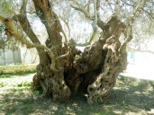 Olivenbaum Astrikas, Olivenölseminar