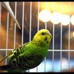 Parakeet Care
