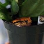 Tomato Frog Care