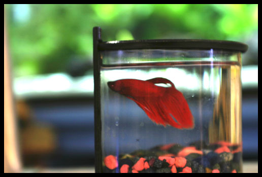 Betta, Siamese Fighting Fish