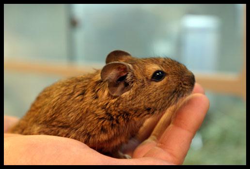 Degu, Brush-Tailed Rat
