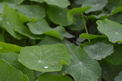 dew on the nasturtium leaves