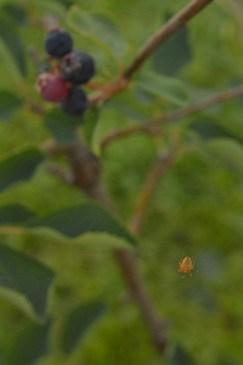 spider in the serviceberry bush