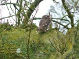 Little Owl staring